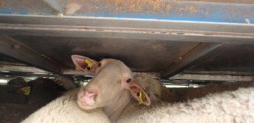 animales-sufren-transporte