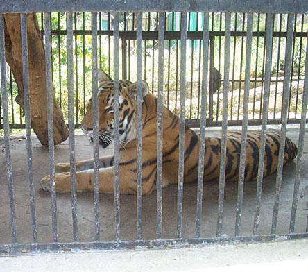 armenian tiger