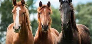 El Parlamento Europeo adopta una Resolución que transformará la vida de los caballos, burros y mulas en Europa.