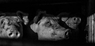 guía europea de buenas prácticas para el transporte de ganado porcino