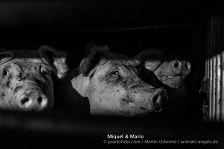 ANDA (Madrid) miembro del Eurogroup for Animals, y FAADA (Barcelona) se han dirigido al Director de Embutidos Fermín