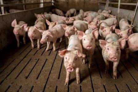 Un millón de ciudadanos europeos pide el fin de las mutilaciones practicadas a los cerdos en las granjas de ganado porcino.
