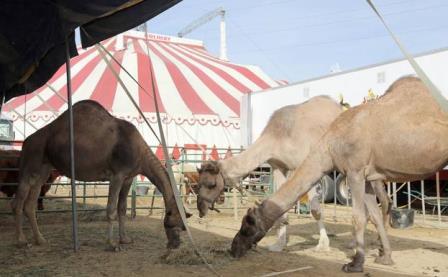 El circo llegará este año por primera vez sin animales a Valladolid tras el veto municipal.