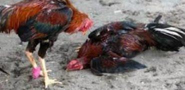 Desmantelado un criadero ilegal de gallos de pelea en la Cañada Real.