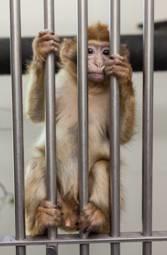 macaco juma