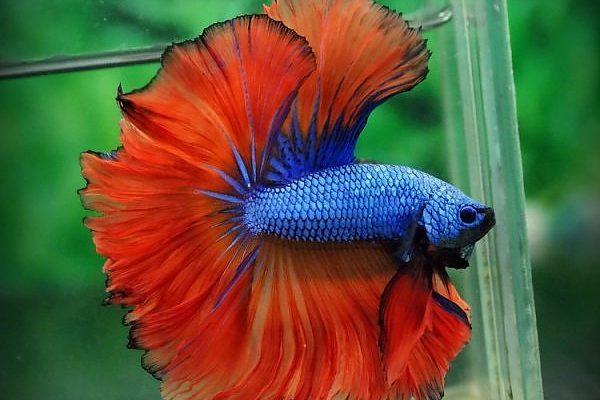 pez luchador