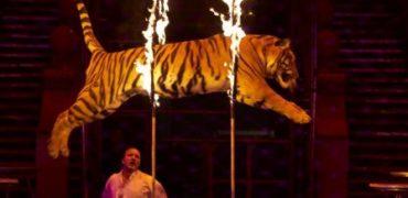 tigre explotado