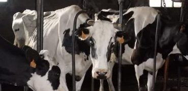 brutal tratamiento del ganado español y europeo exportado a países de Oriente Medio
